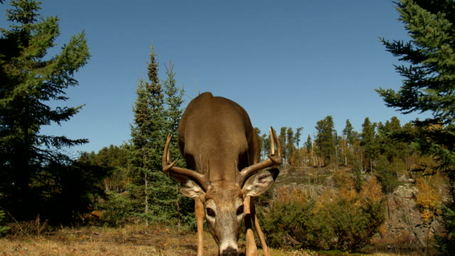 YOUNG BUCK APPROACHES ANTLERS DOWN video