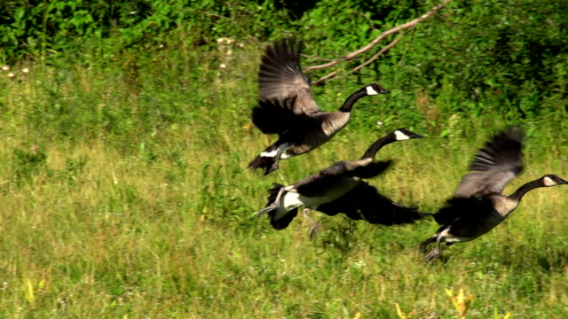 SLOW MOTION CANADA GOOSE TAKE OFF 240FPS video