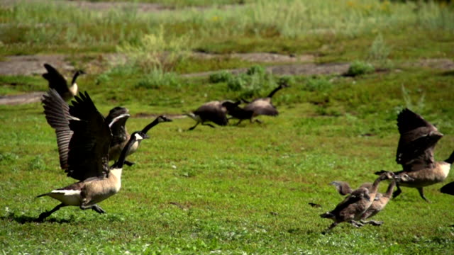 BABY CANADA GOOSE RUN 240FPS SLOW MOTION video