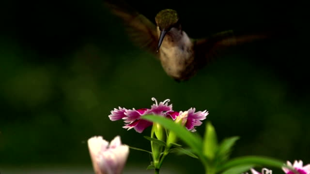 HUMMINGBIRD SUPER SLOW MOTION…480 FPS video