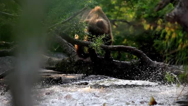 медведьловитрыбу - シベリア点の映像素材/bロール