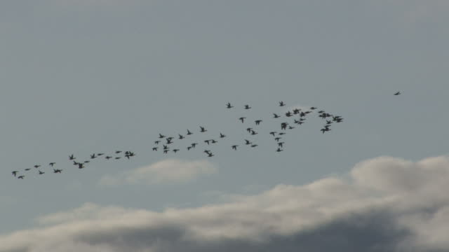 полет селезням - утка водоплавающая птица стоковые видео и кадры b-roll