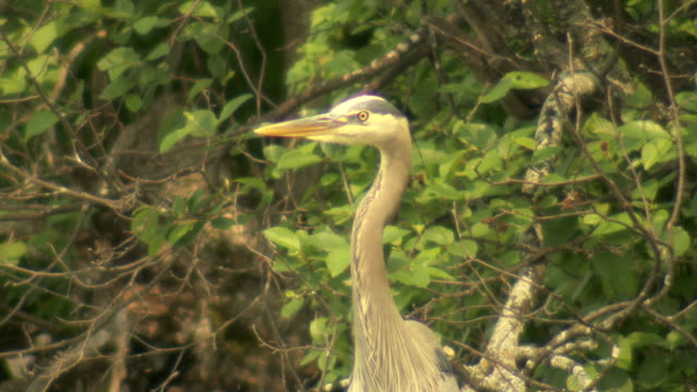 BLUE HERON FACE video