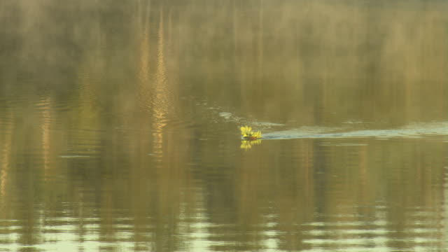 BEAVER CARRYING FOOD IN MISTY WATER video