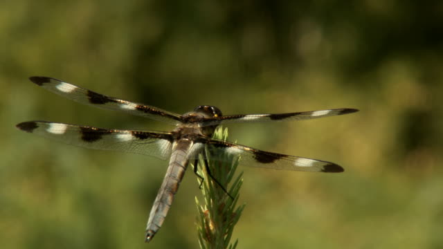 DRAGONFLY WINGS video