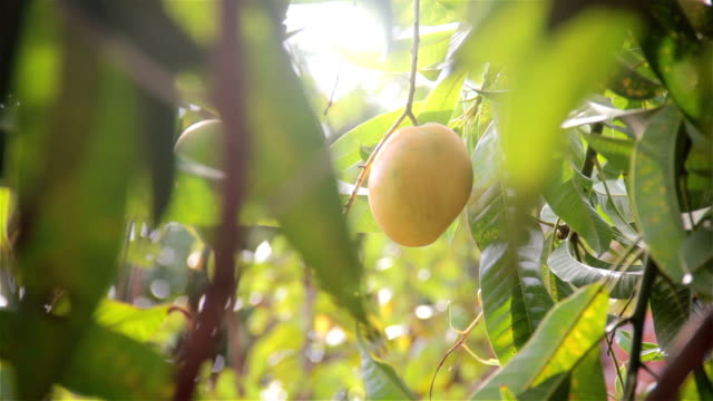 RIPE MANGO FRUIT the mango tree ripe with sunlight in the background mango stock videos & royalty-free footage
