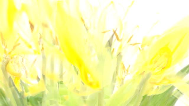 stockvideo's en b-roll-footage met de gele tulpen (fade out) - infaden