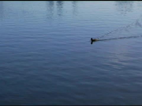 LITTLE DUCKY (DV) A small duck swims across frame. (720x480 NTSC DV source) aquatic organism stock videos & royalty-free footage