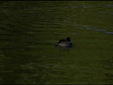 LITTLE DUCKY SPLASH (DV) A little duck splashes about cleaning it's self. (720x480 NTSC DV source) aquatic organism stock videos & royalty-free footage