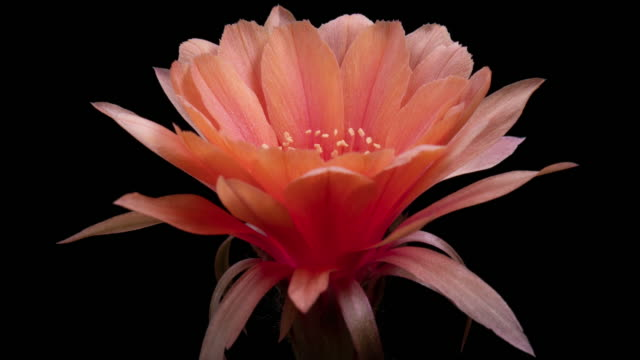 BLOOMING CACTUS FLOWER ECHINOPSIS OLD ROSE FLOWER 4K T/L