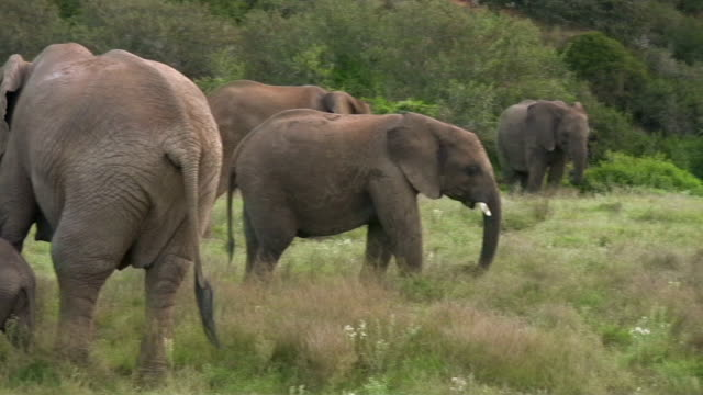 HD 1080i Elephants in South Africa 3 video