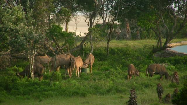 vidéos et rushes de hd 1080 i koudou brouter à l'afrique du sud - plan d'eau