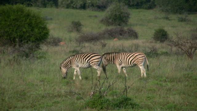 HD 1080i Pair of Zebra in South Africa video