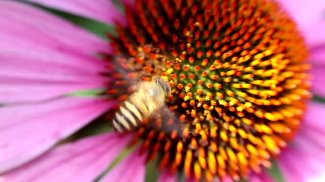 HD 1080p: Motion shot for a honey bee extracts nectar video