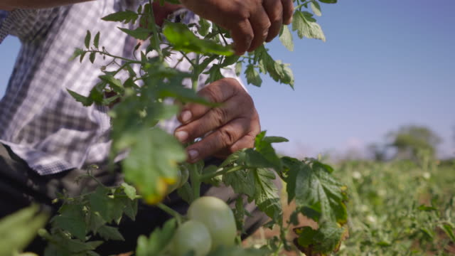 11-Man Farming Tomatoes Looks For Bugs On Leaves video