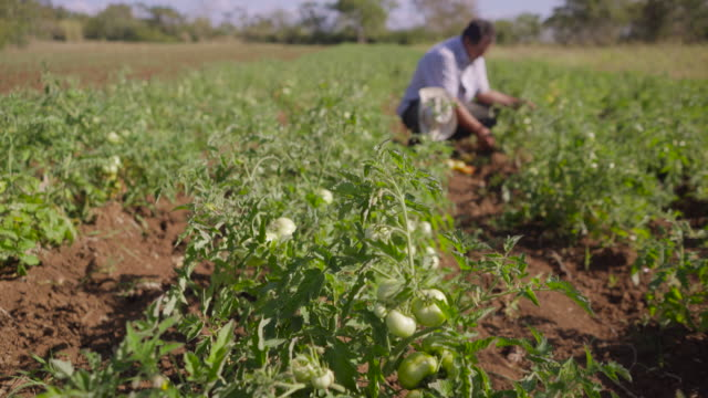 12-Man Farmer Picking Red And Green Tomatoes From Plant video