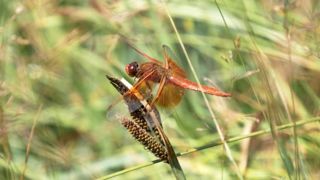 180fps 17% slow motion shot of a dragonfly wiping its eyes in yellowstone - libellulidae video stock e b–roll