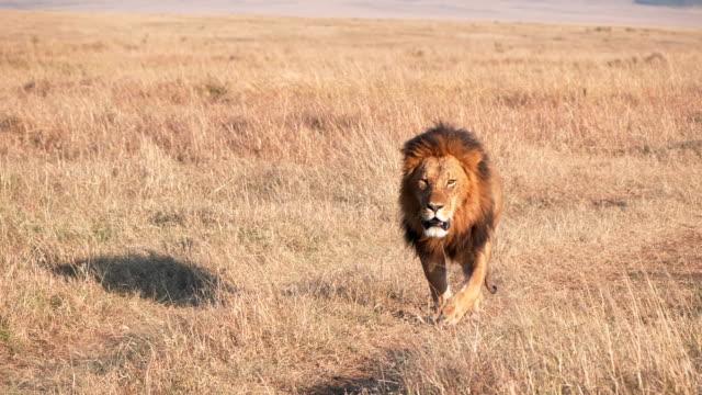 マサイマラの道路に接近する雄ライオンの240pスローモーションショット - ネコ科点の映像素材/bロール