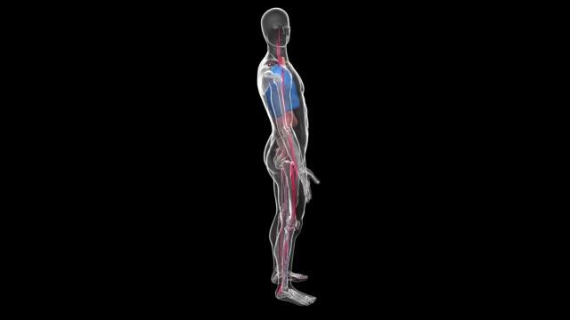 vídeos de stock e filmes b-roll de 3d animation of the transparent glass figure of a rotating human body. - membro