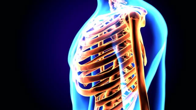 3d illustration of human body ribs cage anatomy - tułów filmów i materiałów b-roll