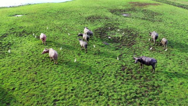 野生の生命のドローンからの4k航空写真多くの水牛は緑の草を放牧し、タレーノイ湖、タッタルン、タイの緑の沼放牧地でトラックを作ります - ウシ点の映像素材/bロール