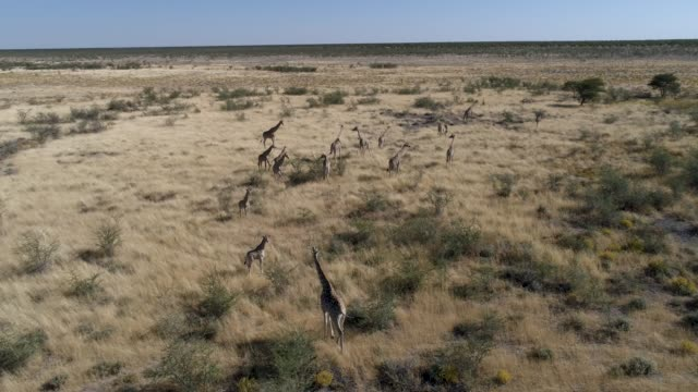 4k aerial zoom in view of a group of giraffe and their young walking in the savannah bushveld of Northern Namibia 4k aerial zoom in view of a group of giraffe and their young walking in the savannah bushveld of Northern Namibia namibia stock videos & royalty-free footage