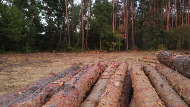 4k Aero-video, slowly flying over a virulent part of the forest, felling tree trunks lie on the ground