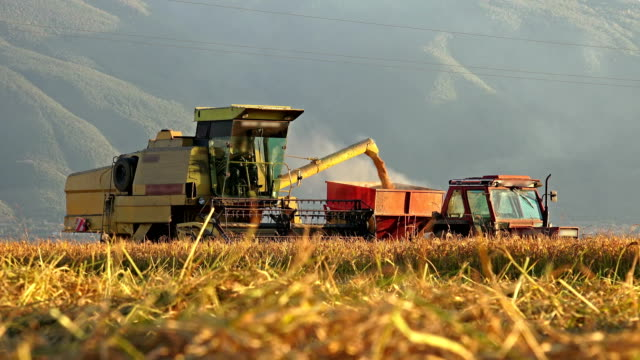 4k agriculture and harvester transfering fresh rice, wheat in tractor at sunset golden hour. Sony 4K shoot