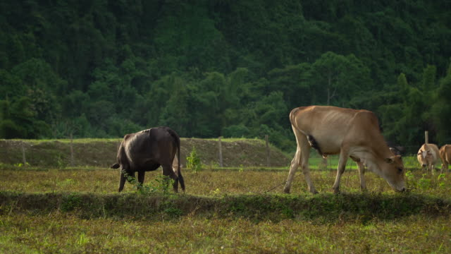 4k, Animal herd of cows eating grass. video