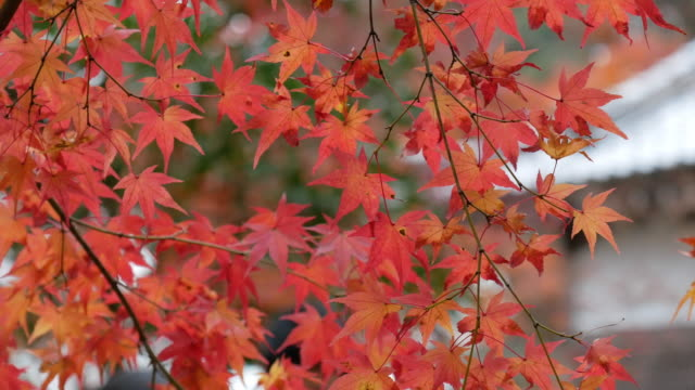 4k Beautiful Autumn Colors in Japan 4k Beautiful Autumn Colors in Japan maple leaf videos stock videos & royalty-free footage