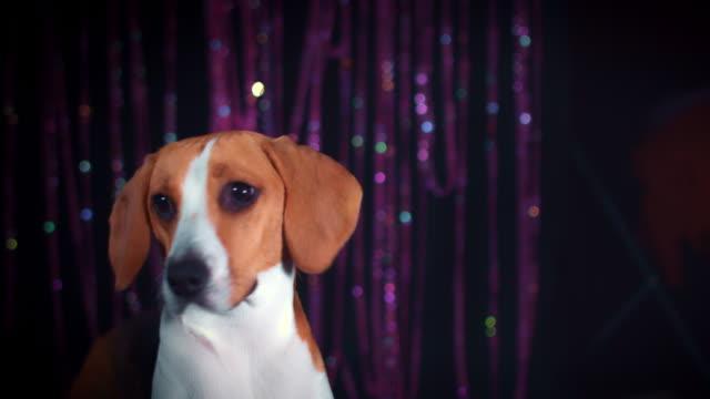 4k Birthday Beagle Dog with Confetti Falling video