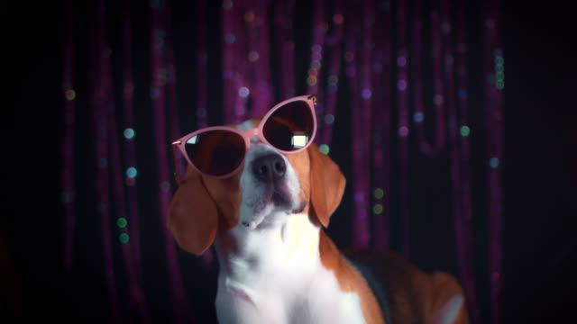 4k Birthday Beagle Dog with Cool Sunglasses video
