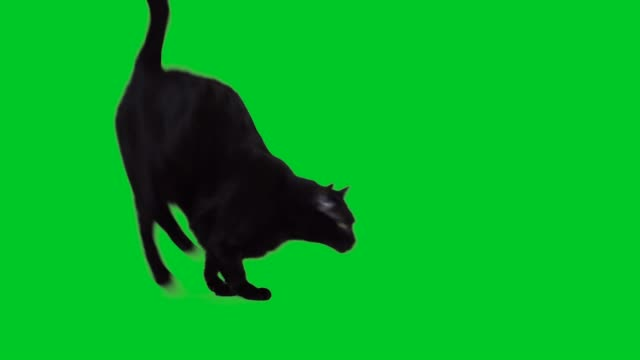 4k black cat jumping on green screen - kot filmów i materiałów b-roll