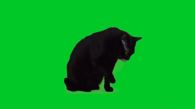 4k black cat licking on green screen - soltanto un animale video stock e b–roll