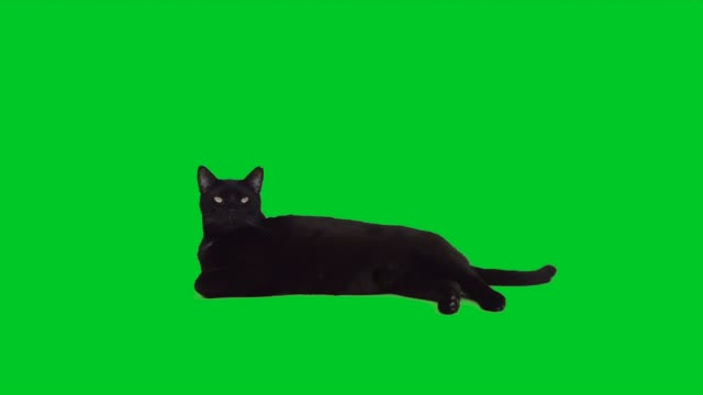 4k black cat lying down on green screen