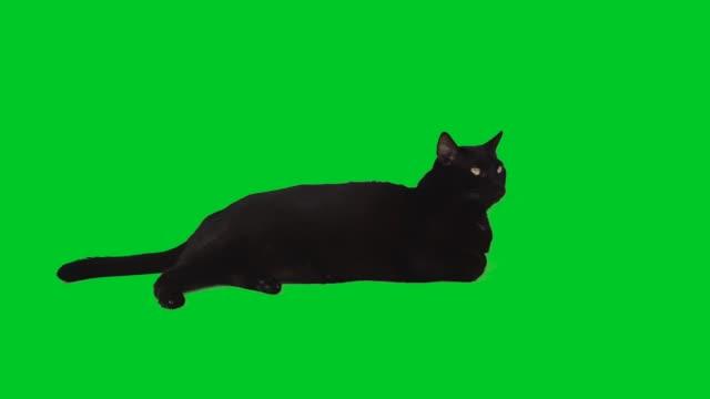 4k black cat lying down on green screen