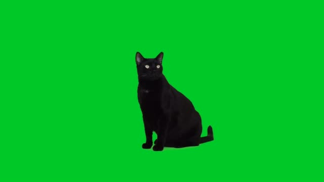 4k black cat sitting on green screen - kot filmów i materiałów b-roll