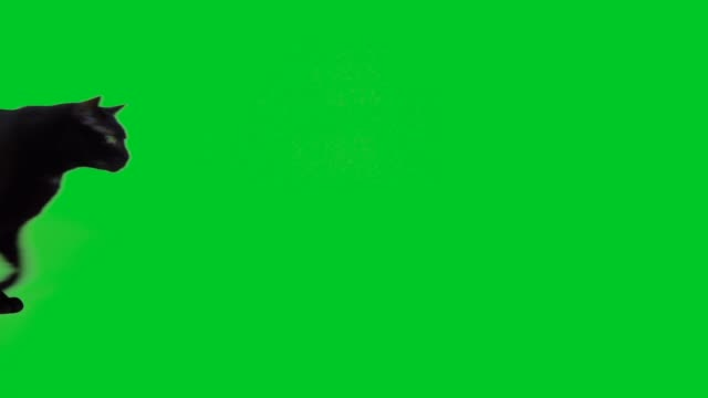 4k black cat walking on green screen
