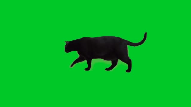 4k black cat walking on green screen - kot filmów i materiałów b-roll