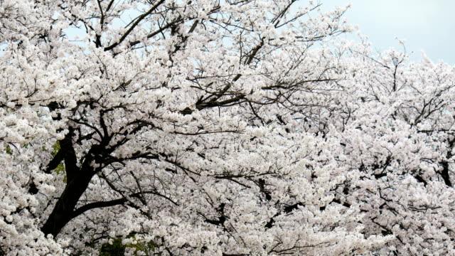 vídeos de stock, filmes e b-roll de as árvores de cerejeira 4 k ou sakura em toyama, japão - cerejeira árvore frutífera