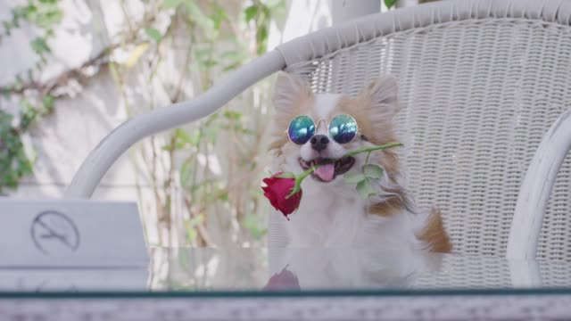 4k ,chihuahua sitting with red rose in mouth - cane addestrato video stock e b–roll