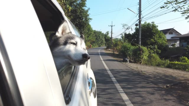 4k Close up of happy siberian husky dog sitting in moving car and sticking her head out from the window of the white car and looking to beautiful nature at rural countryside under sunlight.