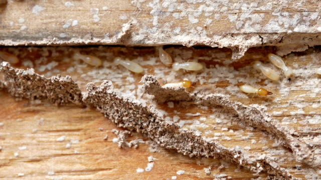 4k Close Up Shot Macro White Ants Or Termites On Decomposing Wood As An Enemy Of Wooden Houses As Well Stock Video Download Video Clip Now Istock