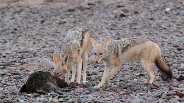 4k close-up view of two black-backed jackals, one feeding on a seal pup carcass on the coast line of the Namib Desert, Namibia 4k close-up view of two black-backed jackals, one feeding on a seal pup carcass on the coast line of the Namib Desert, Namibia dead animal stock videos & royalty-free footage