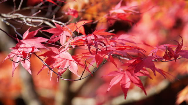 4k Colourful Maple Leaves