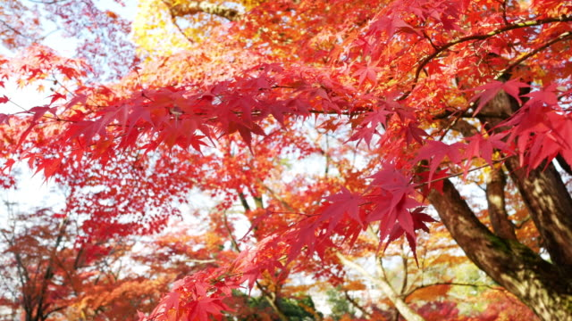 4k Colourful Maple Leaves 4k Colourful Maple Leaves maple leaf videos stock videos & royalty-free footage