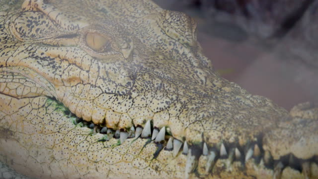 vidéos et rushes de 4k : crocodiles - alligator