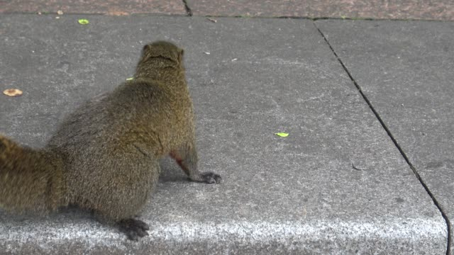 4k, Cute Pallas's squirrel on the asphalt ground in a park of Taipei city