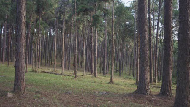 4k dolly shot ,morning pinetrees forest - dolly shot video stock e b–roll