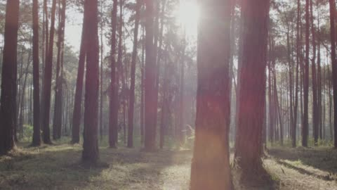 4k dolly shot ,Morning Pinetrees forest shot on RED dragon dolly shot stock videos & royalty-free footage